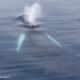 Baleine à bosse en Antarctique