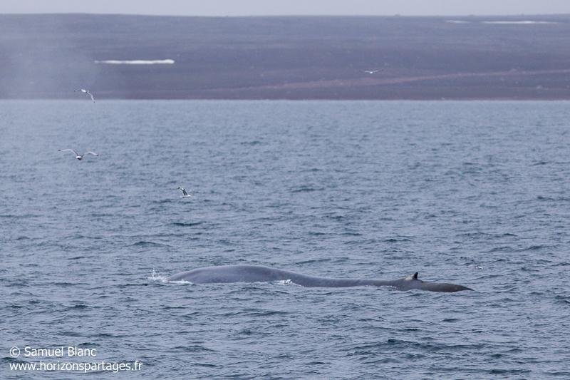 Baleine bleue au Svalbard