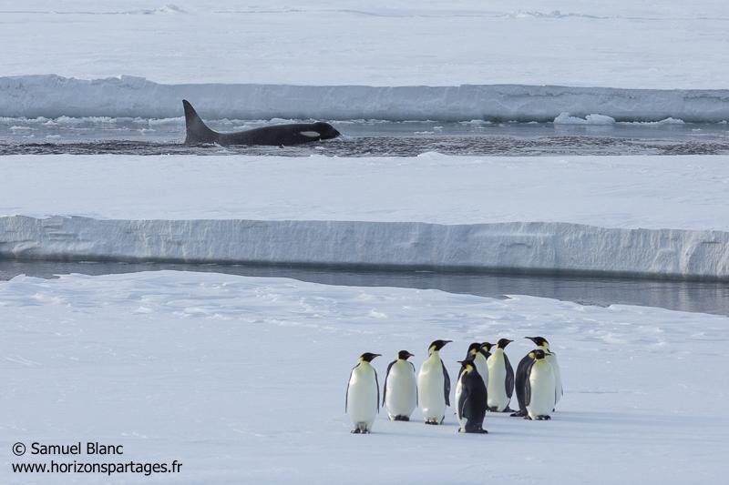 Manchots empereurs et orque en mer de Ross
