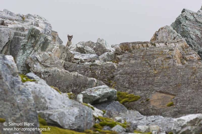 Renard arctique au Spitzberg