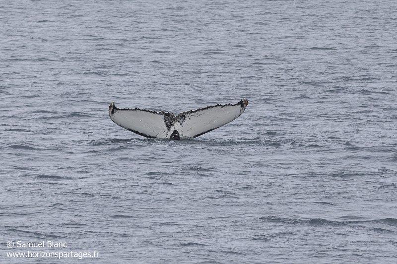 Caudale de baleine à bosse