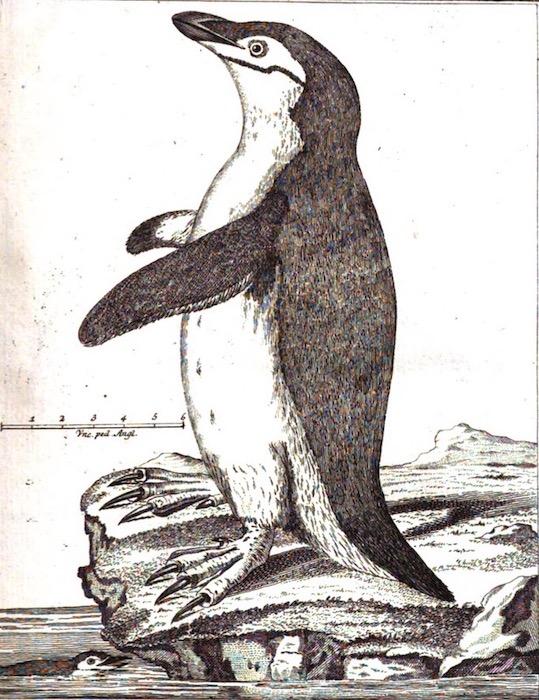 Manchot à jugulaire dans Historia aptenodytae en 1781