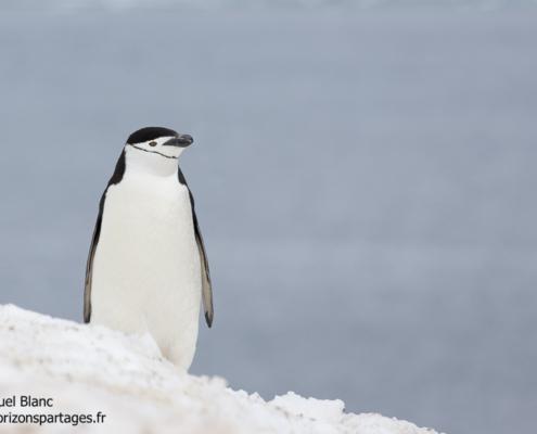 Manchot à jugulaire dans les Shetland du Sud